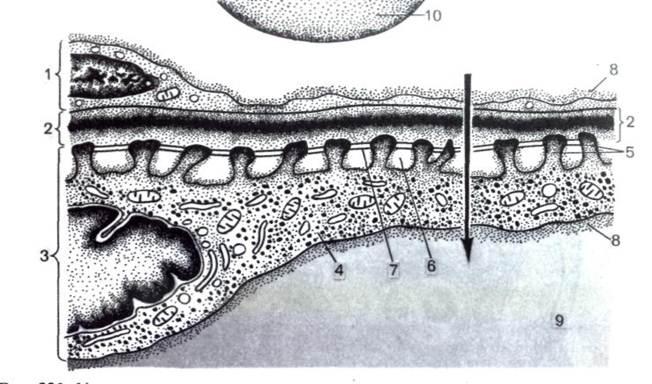 Базальная мембрана мышечного волокна - ab
