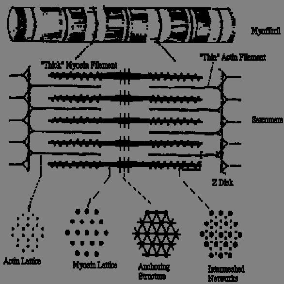 Саркомер