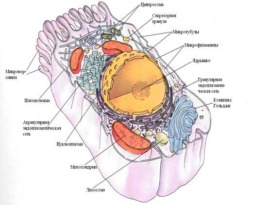 эукариотическая клетка