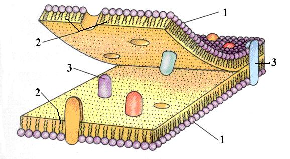Рис. 2. Схема строения биологической мембраны.  1 - заряженные головки; 2 - незаряженные хвосты; 3 - интегральные...