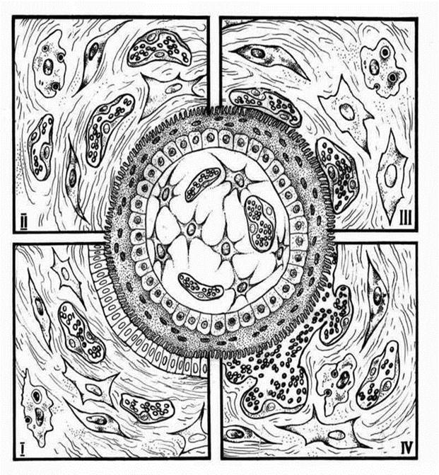 Схема строения плацент