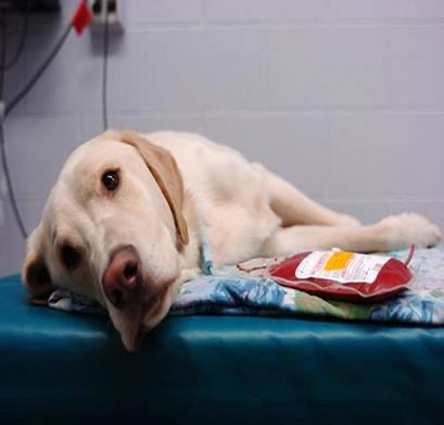 Тканевая терапия у животных