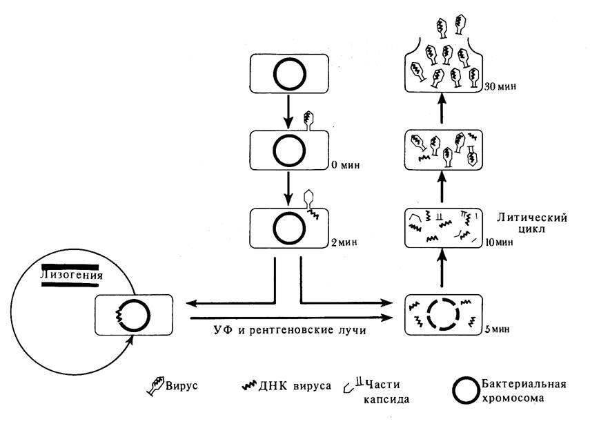 Жизненный цикл бактериофага