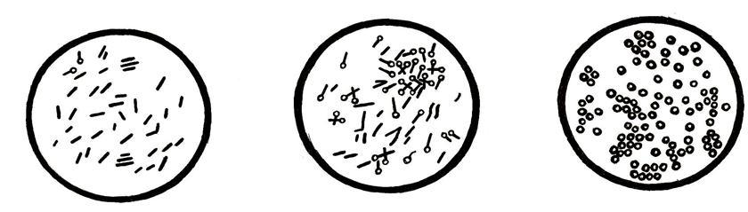 Возбудитель брожения клетчатки