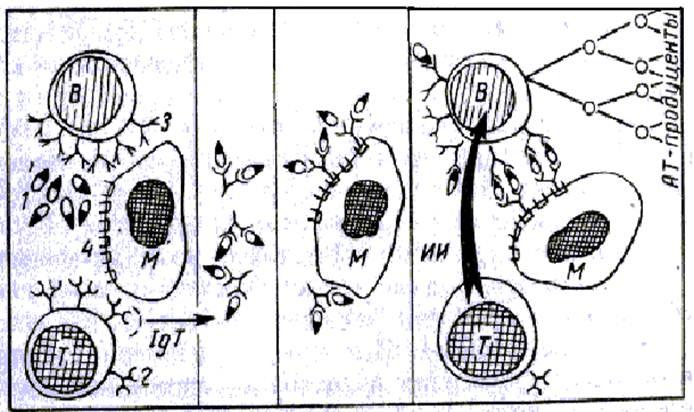 Рис. 25.  Схема взаимодействия иммунокомпетентных клеток в иммунном ответе (по Петрову).  В - В-лимфоциты; Т...