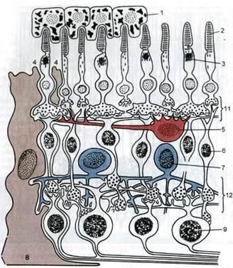 Схема межнейронных связей в