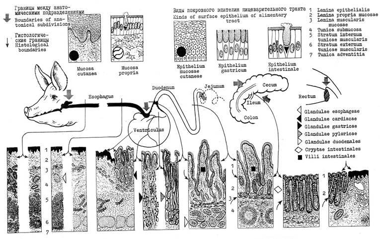 Стенка пищеварительного канала