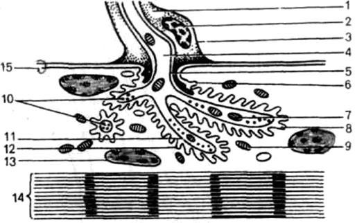 Схема строения нейромышечного