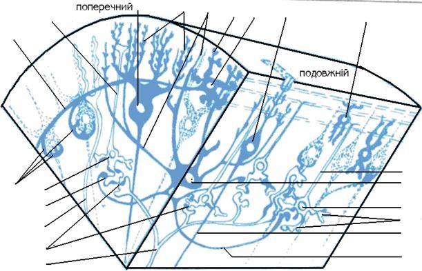 Схема міжнейронних зв'язків в