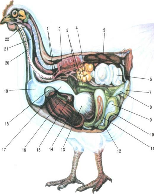 Внутрішні органи курки