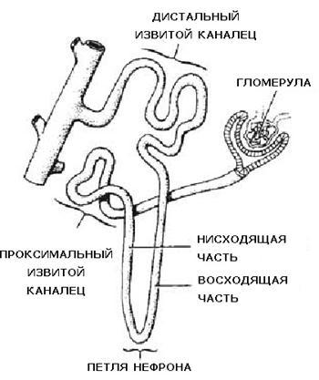 Схема строения нефрона Почки