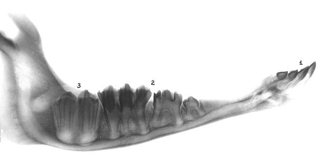 Зубы нижней челюсти телят