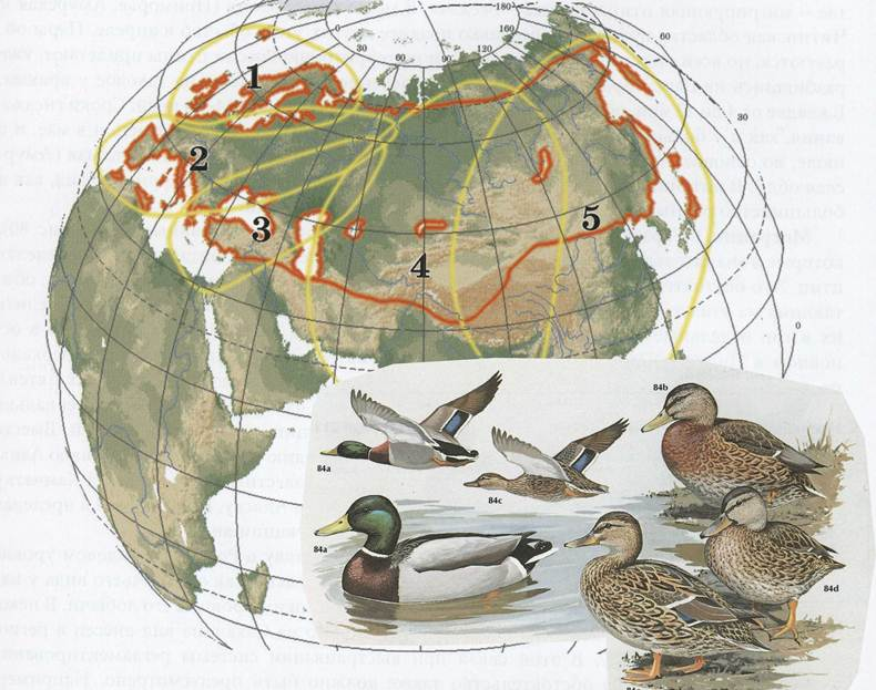 Гнездовой ареал и популяционые