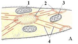 описание: miocit