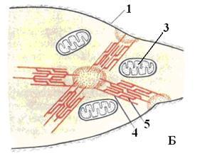 описание: миоцит