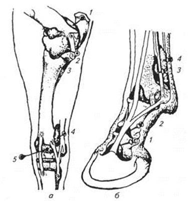 Тарсальный сустав фото соединение коленного сустав