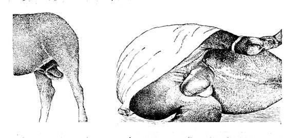 Правосторонняя интравагшшльная грыжа у жеребца